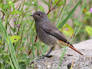 Black Redstart (Phoenicurus ochruros)¨ Photo t...