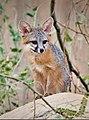 Juvenile gray fox (28819670088).jpg