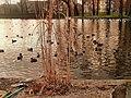 Kaczki na Kozim Stawie w Legnicy. - panoramio.jpg