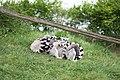 Kattas im Tier- und Freizeipark Thüle.jpg