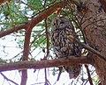Kattuggla Tawny Owl (14102917493).jpg