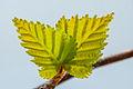 Kevadised lehed.jpg