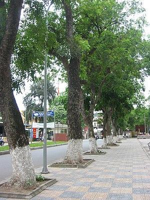 Khaya senegalensis - Khaya senegalensis being used as a street tree