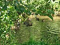 Kherson, wild-ducks, is in the delta of Dnepr - panoramio.jpg