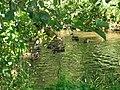 Kherson, wild-ducks, is in the delta of Dnepr - panoramio.jpg