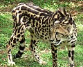 King Cheetah (cropped).jpg