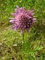 Knautia arvensis20140704 235.jpg
