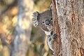 Koala (Phascolarctos cinereus) (26748321945).jpg