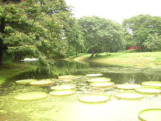 Acharya Jagadish Chandra Bose Indian Botanic Garden - Image: Kolkata botanical garden lily