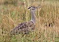 Kori bustard, Ardeotis kori, at Pilanesberg National Park, Northwest Province, South Africa (16922513946).jpg