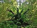 Korijen hrasta lužnjaka u Posebnom rezervatu šumske vegetacije Prašnik.jpg