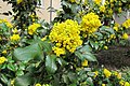 Korina 2013-03-30 Mahonia aquifolium.jpg