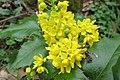 Korina 2013-03-31 Mahonia aquifolium 1.jpg