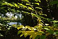 Korina 2013-10-19 Fallopia japonica 7.jpg