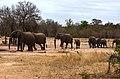Krugerův park - pochodující sloni k napajedlu (elephants) - panoramio.jpg
