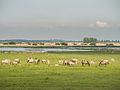 Kudde konik paarden in het Lauwersmeer gebied.jpg
