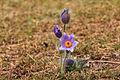 Kvetoucí koniklece v PP Kobylinec 04.jpg