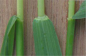 Elymus repens - Image: Kweek ligula Elytrigia repens