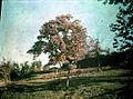 L'arbre dans les champs, TRU C 3023 - Fonds Trutat.jpg