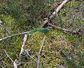 Lézard vert (Lacerta viridis).jpg
