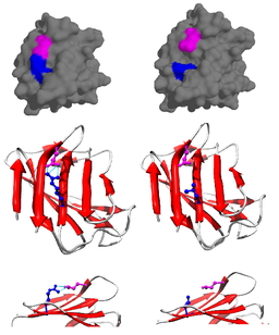 LMNA protein (1ifr) mutation R527L PMID 22549407 surface and cartoon