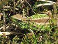 Lacerta agilis (Sand Lizard) male, Mookerheide, the Netherlands.jpg