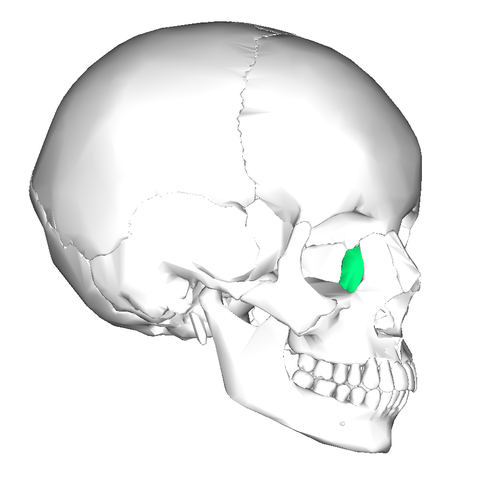 file:lacrimal bone - lateral view2 - wikimedia commons, Human Body