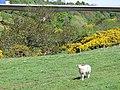 Lamb beside the Tyne - geograph.org.uk - 2084440.jpg