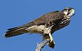 Lanner falcon, Falco biarmicus, at Kgalagadi Transfrontier Park, Northern Cape, South Africa (33767243733).jpg