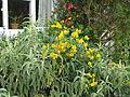 Lapageria rosea, Senna corymbosa & Buddleja salviifolia (15413987695).jpg