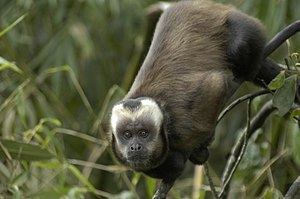 Robust capuchin monkey - Formerly, the large-headed capuchin was considered a subspecies of S. apella.