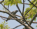 Large Cuckooshrike (Coracina macie) (Male) carrying food for Juveniles at Jayanti, Duars W Picture 251.jpg