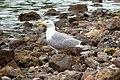 Larus michahellis atlantis, Lagoa do Fogo, Azores 1a.jpg