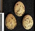 Larus ridibundus MWNH 0380.JPG