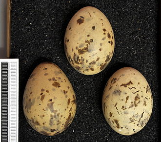Black-headed gull - Eggs, Collection Museum Wiesbaden, Germany