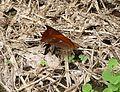 Lasiopyhla arborifera - Flickr - gailhampshire.jpg