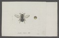 Lasius - Print - Iconographia Zoologica - Special Collections University of Amsterdam - UBAINV0274 046 03 0088.tif