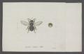 Lasius - Print - Iconographia Zoologica - Special Collections University of Amsterdam - UBAINV0274 046 03 0088.tif