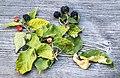 Late season blackberries - Flickr - Muffet.jpg