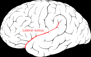 Middle cerebral veins - Lateral sulcus (Middle cerebral veins not visible, but veins run in lateral sulcus.)