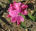 Lathyrus latifolius (perennial pea) (Caldwell, Ohio, USA) 1 (27727635526).jpg