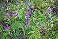 Lathyrus vernus kz04.jpg