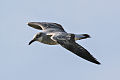 Laughing Gull (Leucophaeus atricilla).jpg