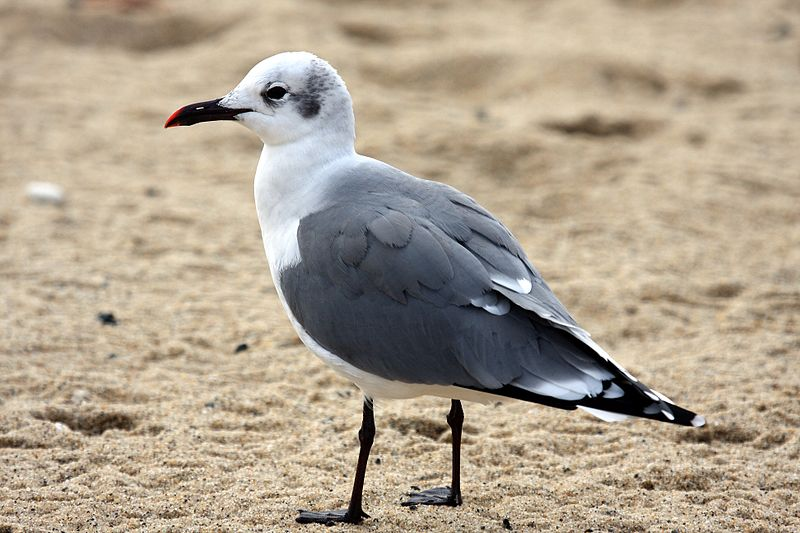 File:Laughing Gull 57.jpg