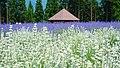Lavender field in Misato Town, Akita 20180624c.jpg