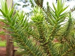 Leaf of araucaria angustifolia.jpg