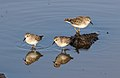 Least sandpiper, Calidris minutilla, at Alviso Marina County Park, Santa Clara, California, USA (22827191248).jpg