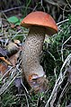Leccinum versipelle, Orange Birch Bolete, UK.jpg