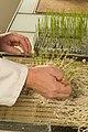 Lecture des semences de pois sur substrat sable sur trémis 17-cliche Jean Weber (2) (23676597515).jpg