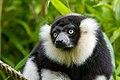 Lemur (24169327398).jpg